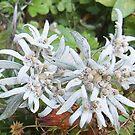 Edelweiss by Miraart