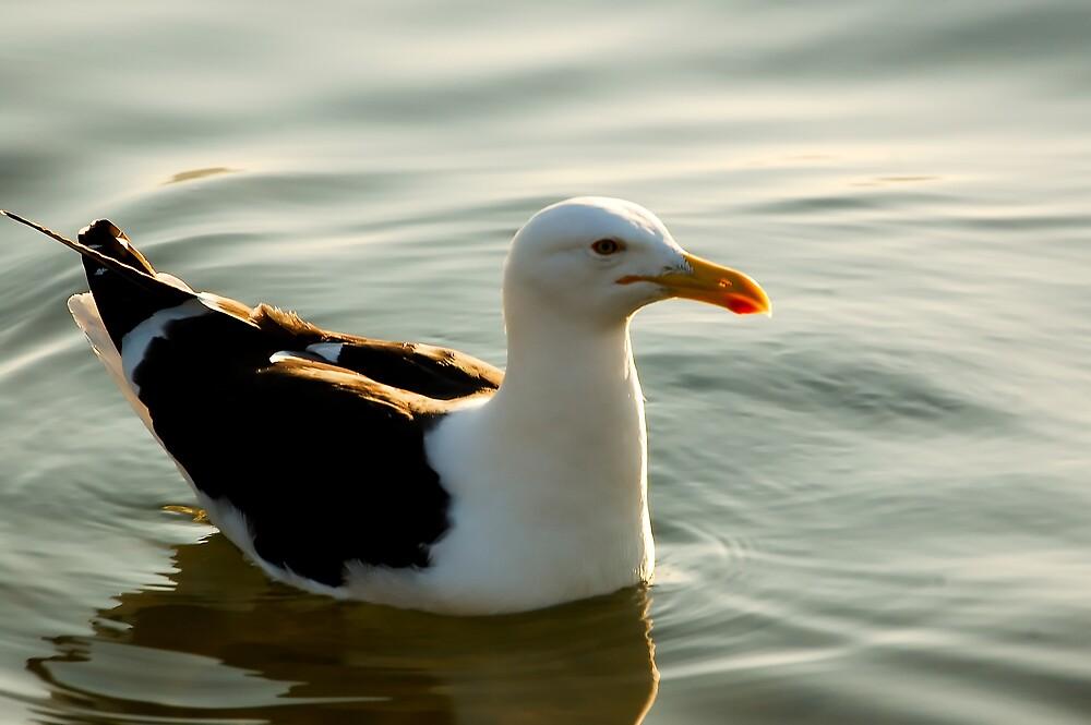 Seagull by Claudio Cologni