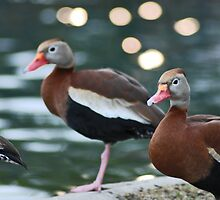 Ducks by photo77