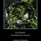 Ice Plant Mandala - Cool Stuff by Maria A. Barnowl