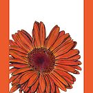 Gerbera by mrana