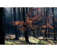 Beech Woodland Photographic Print