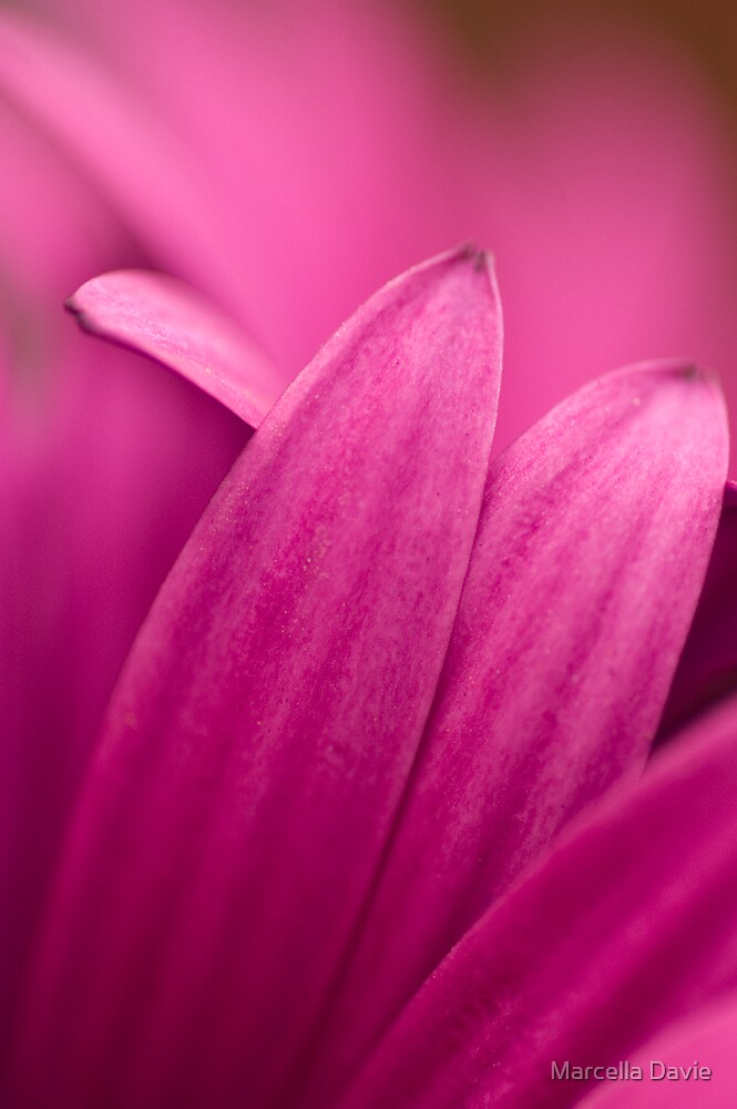 Purple Daisy petal by Marcella Davie