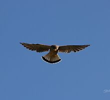 Kestrel Hovering by Jonathan Cox