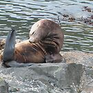 Stellar Sea Lion by 2bearz