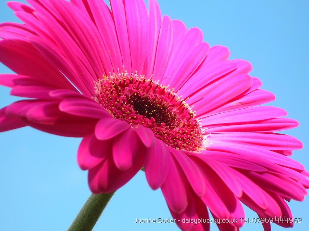 Pink Gerbera On Blue Sky by Justine Butler - daisybluesky.co.uk Tel: 07969 444962