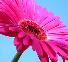 Pink Gerbera On Blue Sky by Justine Butler - daisybluesky.co.uk Tel: 07969 444962