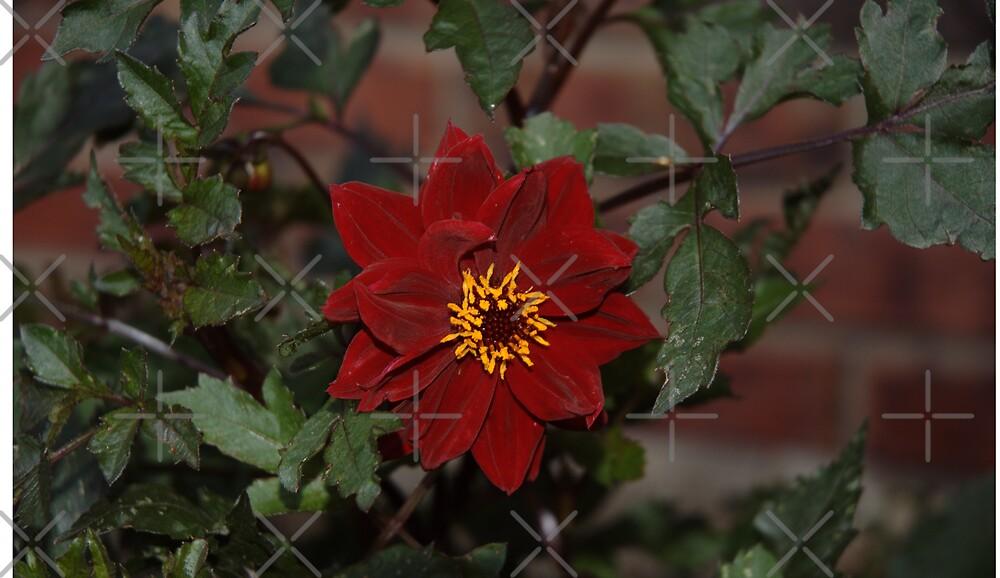 Flower Dark Red by Holly Werner