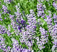 Lavender by Mary  Lane
