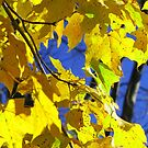 Yellow Fall Leaves  by Pamela Burger