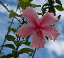 Hibiscus by TECA259