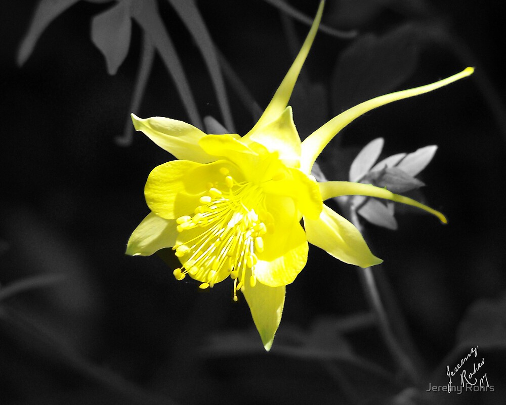 Yellow Columbine by Jeremy Rohrs