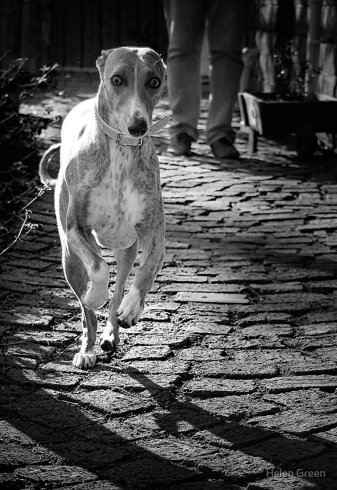 Whippet In Action by Helen Green