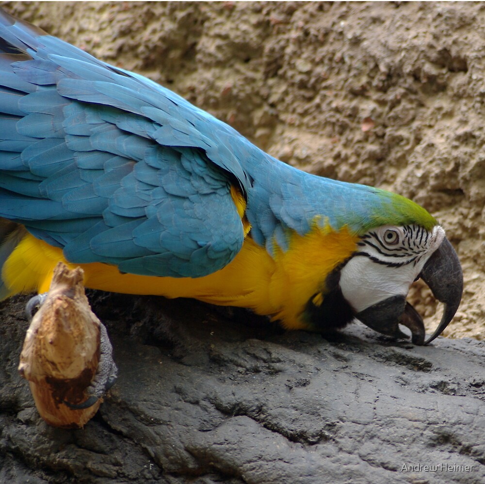 Macaw by Andrew Heimer
