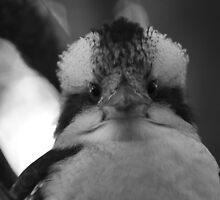 Kookaburra by tarantula