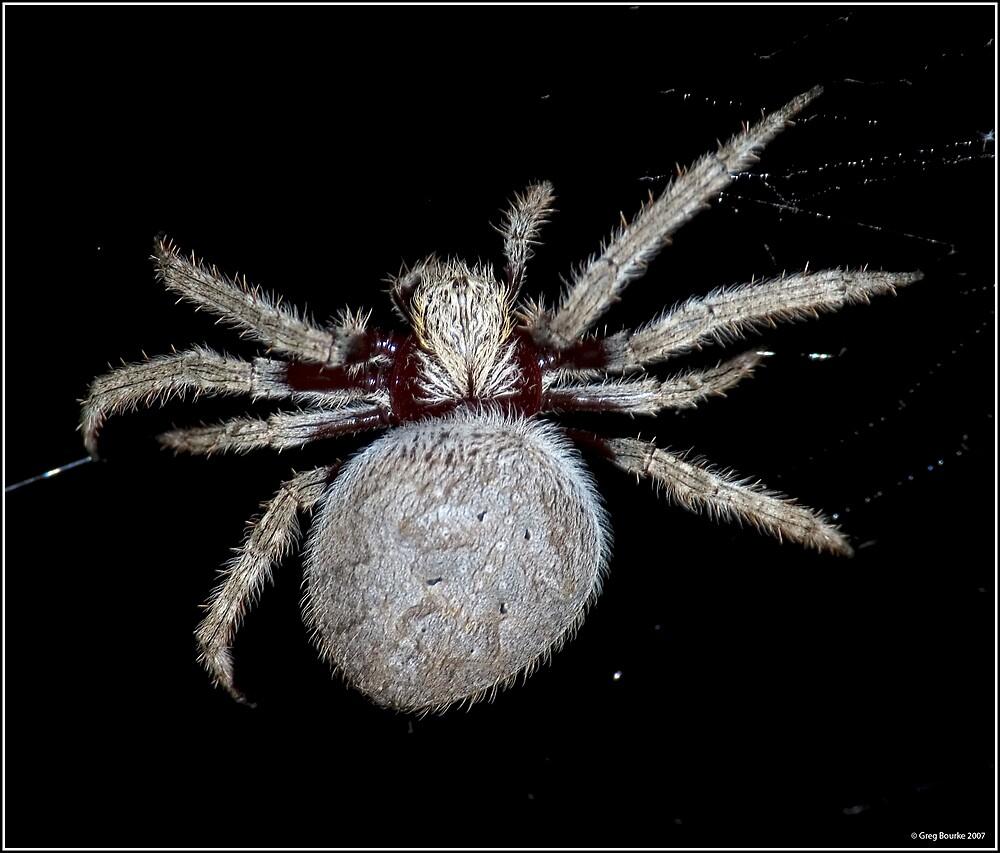 Garden Orb Spider by GregB