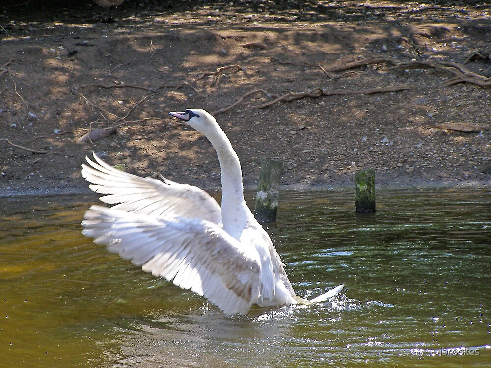 swan's mating call  by ibrookes