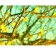 Wistful Cherry Blossoms Photographic Print