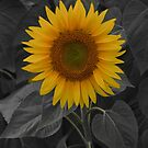 Colby Farms Sunflower #1 by Sam Davis