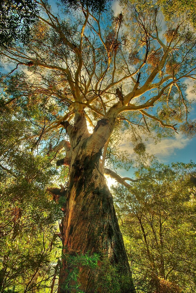 Giant eucalypt by Kevin McGennan