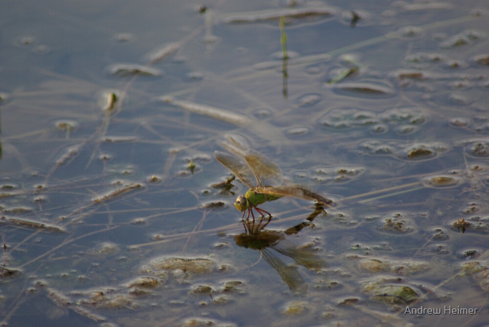Dragonfly by Andrew Heimer