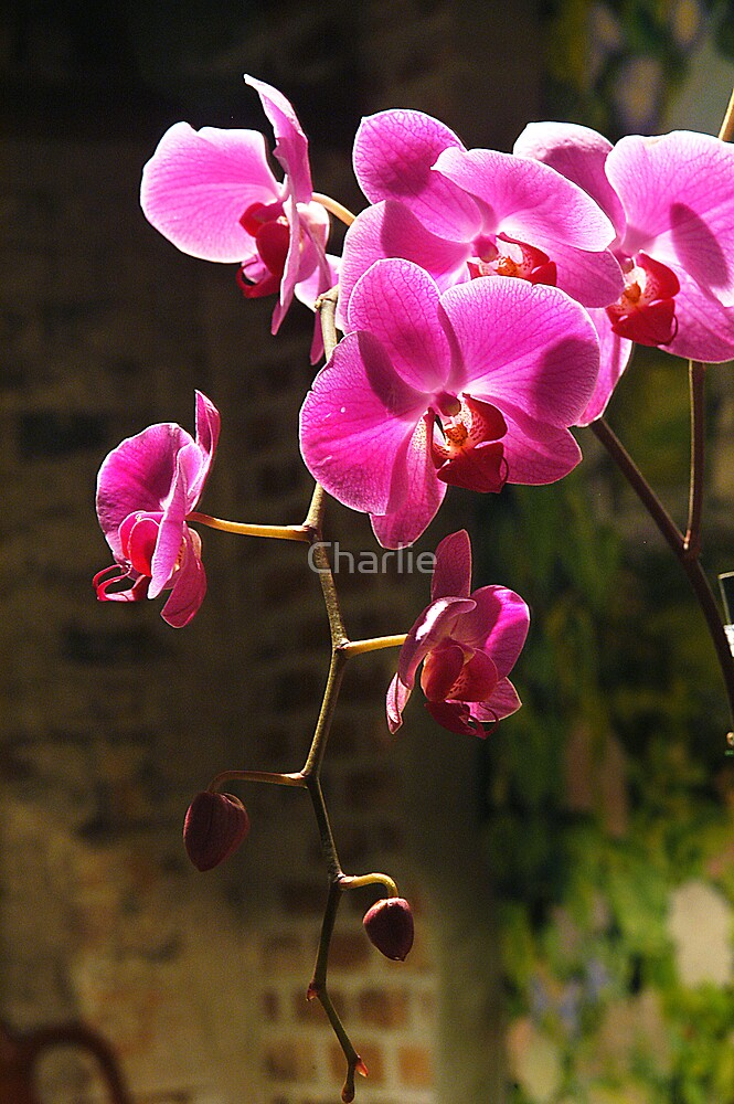 Pink Orchid by Charlie