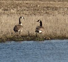 Our Beautiful Canadian Geese by Della Peabody