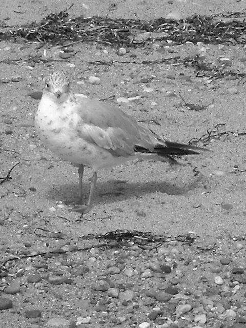 Herring Cove Sea Gull  by tabo32