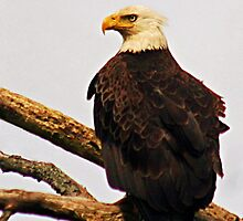 Eastern United States Bald Eagle by Polly Peacock