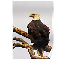 Eastern United States Bald Eagle Poster