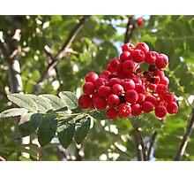 Tree Berries Photographic Print