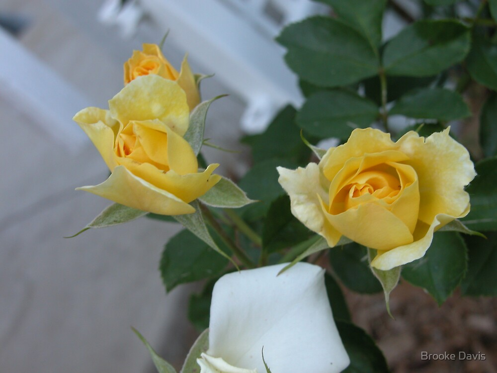 Yellow Roses by Brooke Davis