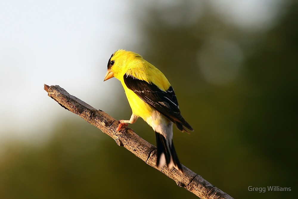 Yellow Finch by Gregg Williams