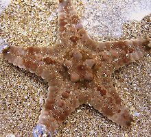 Starfish by stenzijthoff