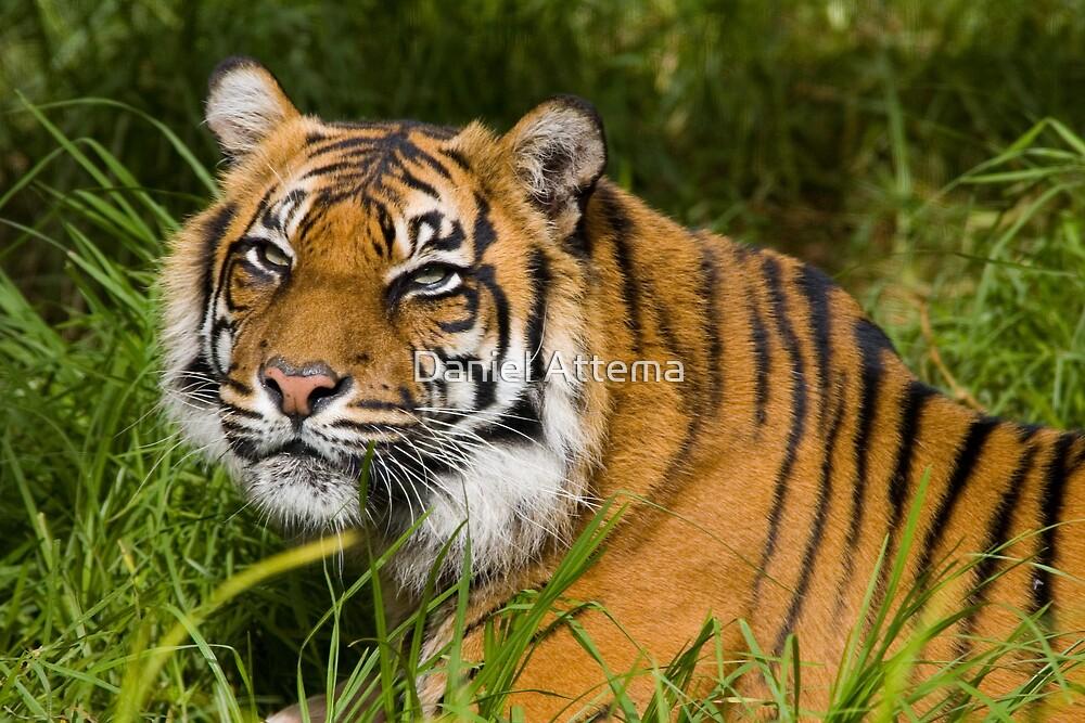 Female Sumatran Tiger by Daniel Attema