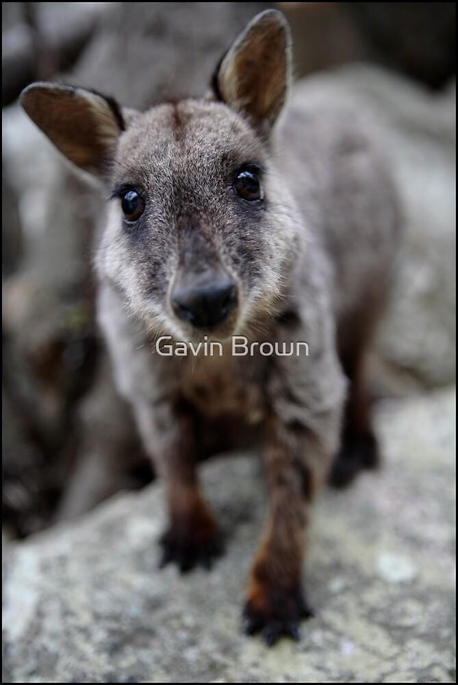 Rock Wallaby  by Gavin Brown