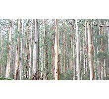 Eucalyptus Regnans Forest Photographic Print