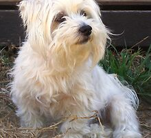 Maltese dog, my name is Kaya. by charmaine