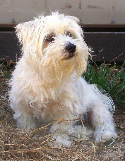 Maltese dog, my name is Kaya. by charmaine