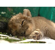 Lion cub sleeping Photographic Print