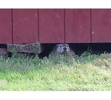 summer days of a groundhog Photographic Print