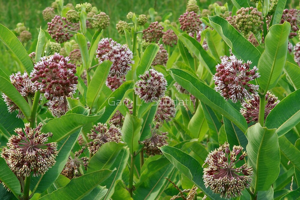 Common Milkweed  by Gary L   Suddath