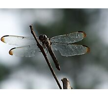 Dragonfly at Rest Photographic Print