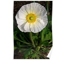 White Prickly Poppy Poster