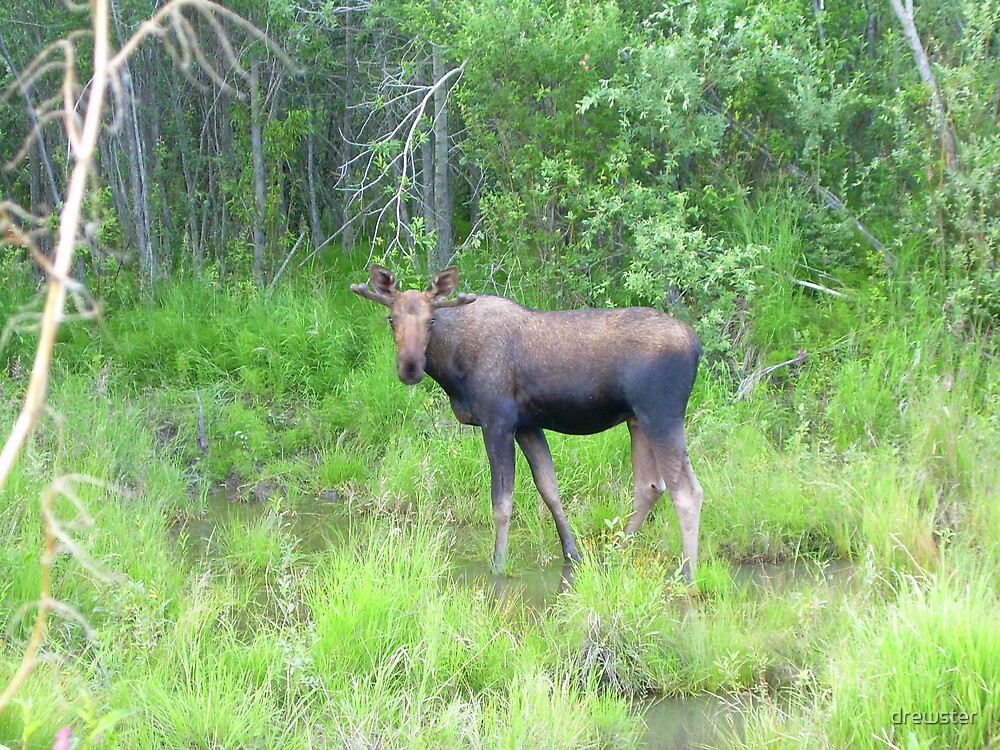 Did you moose me? by drewster