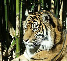 Tiger by simonsinclair