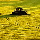 Island in a sea of Canola by Hans Kawitzki