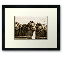 Thirsty Cows Framed Print