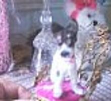 rat terrier miniature pup by francelle by francelle  huffman