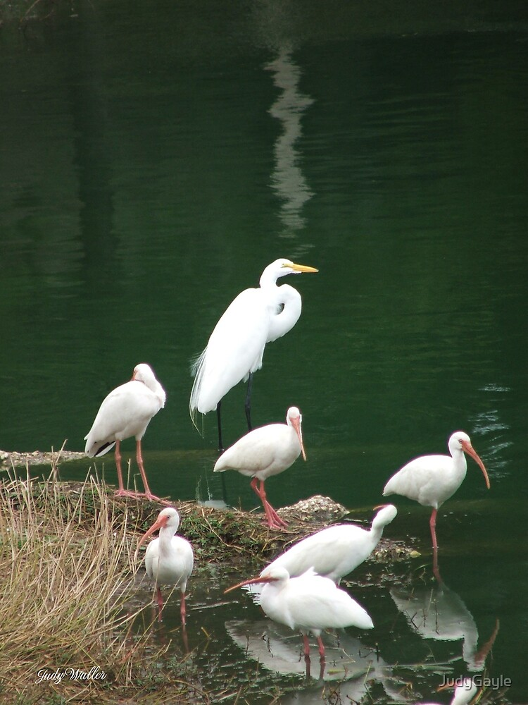 White Birds at 17th St. Pond by Judy Gayle Waller